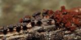 Metatrichia vesparum (Blackberry slime)