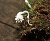 Isaria tenuipes