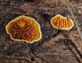 Pseudomerulius aureus