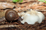 Whitelip Snail - Neohelix albolabris (feeding on a mushroom)