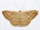 7169 – Soft-lined Wave – Scopula inductata