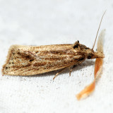 3754.3 - Two-spotted Aethes - Aethes atomosana