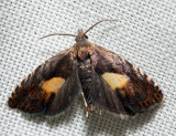 3406 – Dichrorampha bittana