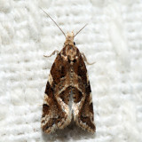 3760.2 – Six-toothed Aethes - Aethes sexdentata