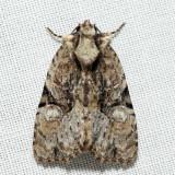 9404 - Black-banded Brocade - Oligia modica