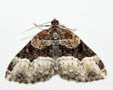 7399 – Sharp-angled Carpet – Euphyia intermediata