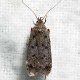 2237 - Dark-headed Aspen Leafroller - Anacampsis innocuella (Tentative)