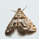 4777 - Petrophila fulicalis (sp. group)