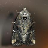9678 - Variegated Midget - Elaphria versicolor
