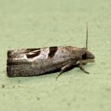 2936 - Aster-head Phaneta - Phaneta tomonana