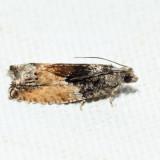 3306 – Poplar Branchlet Borer – Epinotia nisella