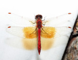 Eastern Band-winged Meadowhawk - Sympetrum semicinctum