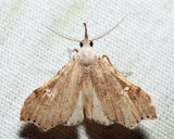 8401 – White-spotted Redectis – Redectis vitrea