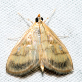 4945 – Pale-winged Crocidiphora – Crocidophora tuberculalis