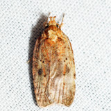 0884 – Thelma's Agonopterix – Agonopterix thelmae