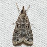 4719 – Many-spotted Scoparia – Scoparia basalis