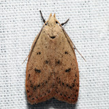 0951 – Gold-striped Leaftier – Machimia tentoriferella