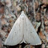 8361 - Louisiana Macrochilo - Macrochilo louisiana