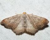 6340 – Minor Angle Moth – Macaria minorata