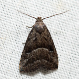 8420 – Large Hypenodes – Hypenodes caducus