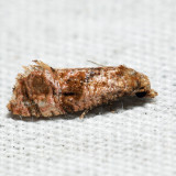 3767 – Cochylis aurorana