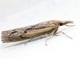 5439 – Woolly Grass-veneer – Thaumatopsis pexellus