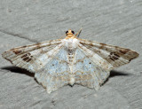 6331 – Promiscuous Angle – Macaria promiscuata