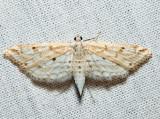 4764 – Watermilfoil Leafcutter – Parapoynx allionealis