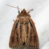 9437 - Sordid Wainscot - Hypocoena inquinata