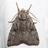 10968 - Northern Variable Dart - Xestia badicollis