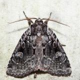 9419 – Adorable Brocade – Platypolia mactata