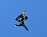 Ruby-throated Hummingbirds - Archilochus colubris (in aerial combat)