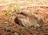 Wood Frog - Rana sylvatica