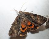 8795 – Oldwife Underwing Moth – Catocala palaeogama