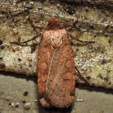 11006 – Brown-collared Dart – Protolampra brunneicollis