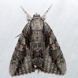 8782 – Mourning Underwing – Catocala flebilis