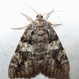 8801.1 – Umber Underwing – Catocala umbrosa