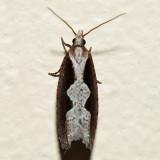 3351 – Diamondback Epinotia – Epinotia lindana