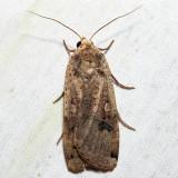 11003.1 – Large Yellow Underwing – Noctua pronuba