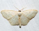 7159 – Large Lace-border – Scopula limboundata