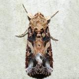 9669 – Yellow-striped Armyworm – Spodoptera ornithogalli