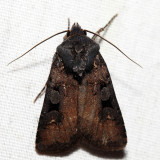 10807 – Euxoa albipennis