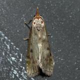 5629 – The Bee Moth – Aphomia sociella