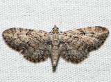 7551 - Juniper Looper - Eupithecia interruptofasciata (f)