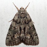 8795 – Oldwife Underwing – Catocala palaeogama