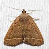 8352 – Yellowish Zanclognatha – Zanclognatha marcidilinea