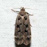 2237 - Dark-headed Aspen leafroller - Anacampsis innocuella
