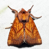 9483 - Sensitive Fern Borer - Papaipema inquaesita