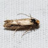 0392 – Tinea apicimaculella