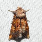 9473 – Aster Borer – Papaipema impecuniosa